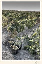 En la viña. Paco Rocha